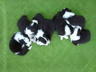 ボーダーコリー子犬の最新写真写真