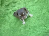 チワックスの子犬 No 351写真