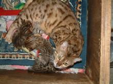 ベンガル猫が出産しました。No 352写真