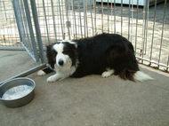 ボーダーコリー犬が出産しました No 353写真