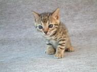ベンガル猫 No 354写真
