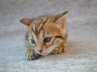 ベンガル猫 No 357写真