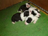 No 432 4月28日生まれの子犬です。写真