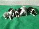 3月16日にボーダーコリーの子犬が産まれています。写真