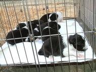 8月28日産まれのボーダーコリーの子犬達写真
