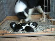 2月11日、ボーダーコリーの子犬が産まれました。写真