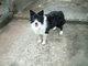 ボーダーコリー犬の父親の写真です。の画像