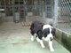 ボーダーコリー犬の母親の写真です。の画像
