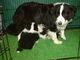 1月11日生まれのボーダーコリー犬の親子の画像